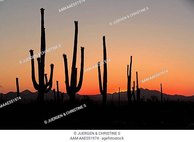 Sunset , Sonora Desert , Arizona , USA , Saguaro Cactus, Carnegia gigantea