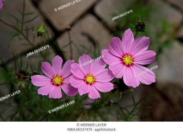 garden cosmos, cosmos bipinnatus, blossoms