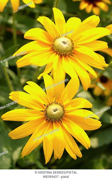 Some green eyed annual Rudbeckia flowers