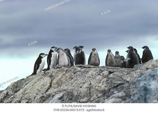 Chinstrap Penguin Pygoscelis antarctica Group standing on rock