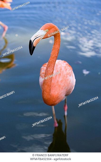 Caribbean Flamingo, Phoenicopterus ruber ruber, Santa Lucia, Caribbean Sea, Cuba