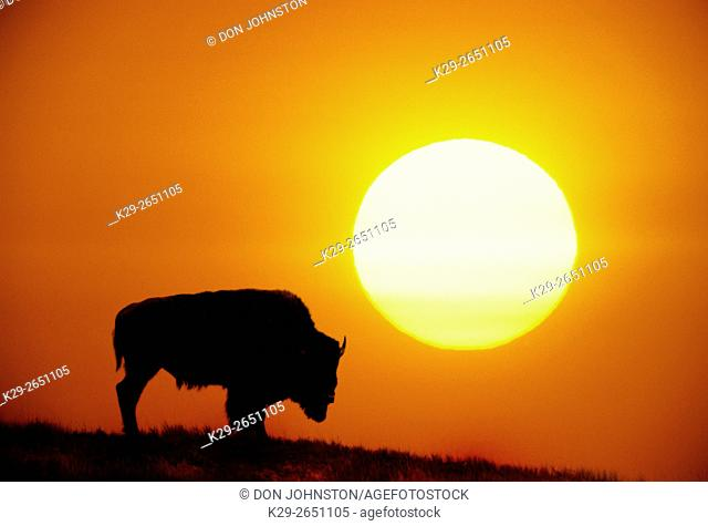 Plains Bison (Bison bison) and setting sun (composite image), Yellowstone National Park, Wyoming, USA