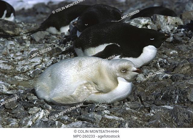 Adelie Penguin Pygoscelis adeliae, albino incubating eggs on nest, Torgerson Island, Antarctica