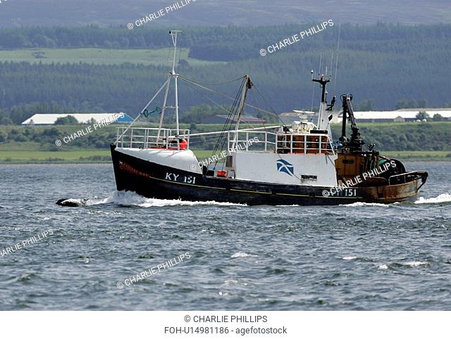 A Bottlenose dolphin Tursiops truncatus bow riding with a fishing trawler near Chanonry Point, Moray Firth, Scotland