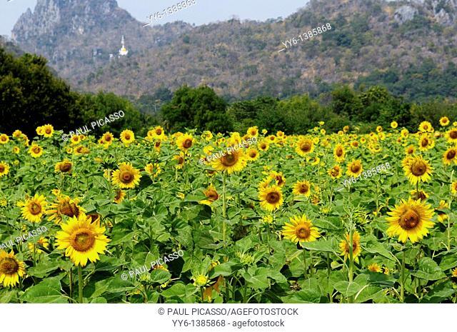 sunflower field , sunflower fields of lopburi , central thailand