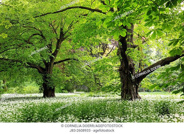 Trees and a carpet with blooming Ramsons (Wild garlic), (Allium ursinum) in spring at castle Park Putbus, Insel Rügen, Isle of Ruegen, Mecklenburg-Vorpommern