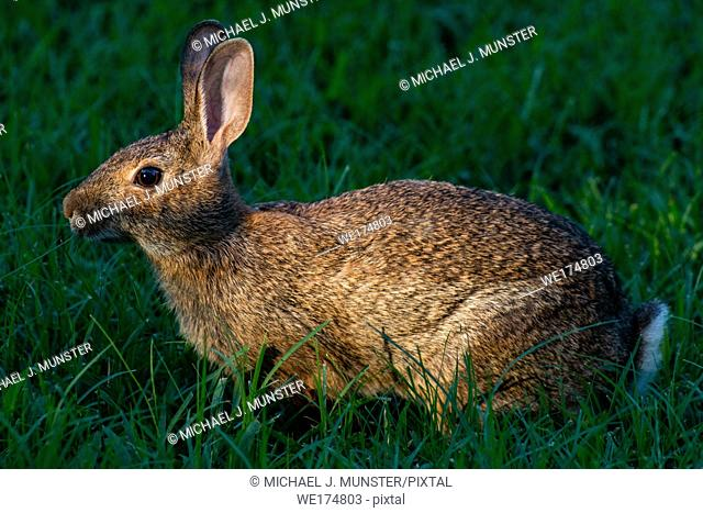 Eastern cottontail rabbit in yard in Joplin, Missouri