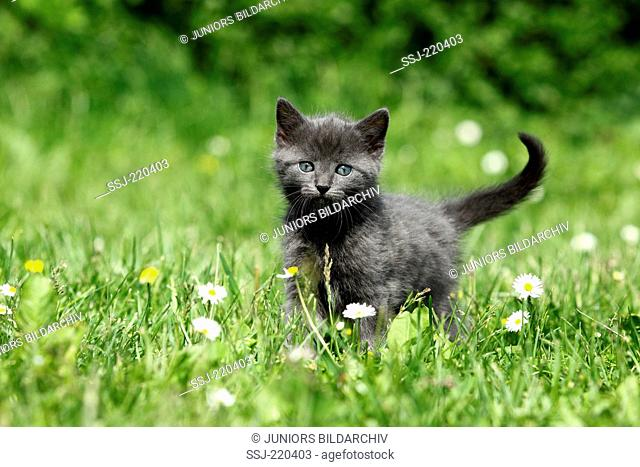 European Shorthair. Gray kitten (5 weeks old) on a meadow with flowering Daisies. Germany