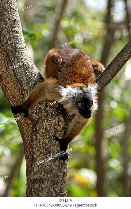 Black Lemur Lemur macaco adult female in tree, Nosy Komba, Madagascar