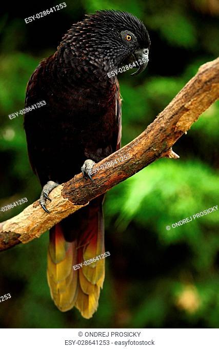 Parrot Black Lory, Chalcopsitta atra, Maluku Islands, New Guinea