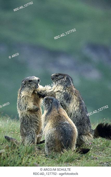 Alpine Marmot Grossglockner Hohe Tauern national park Austria Marmota marmota alps