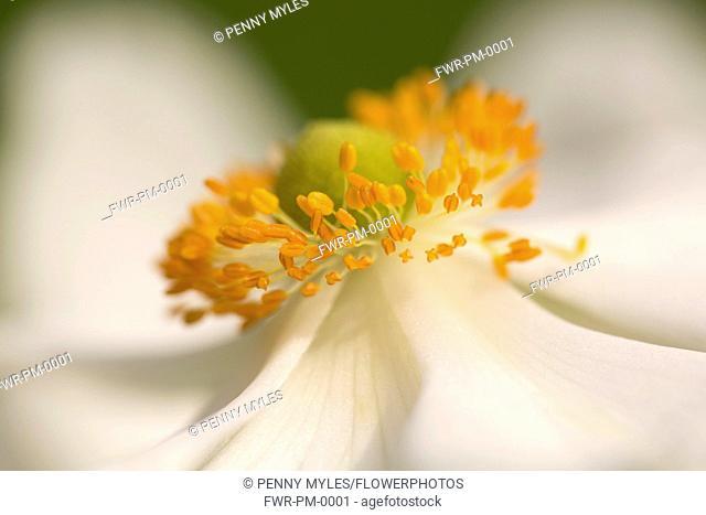 Japanese anemone, Anemone x hybrida 'Honorine Jobert', close up view showing orange stamen