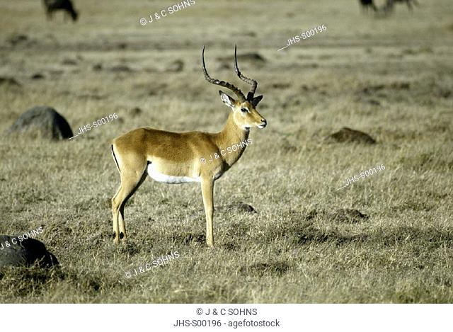 Impala, Aepyceros melampus, Masai Mara, Kenya, adult male