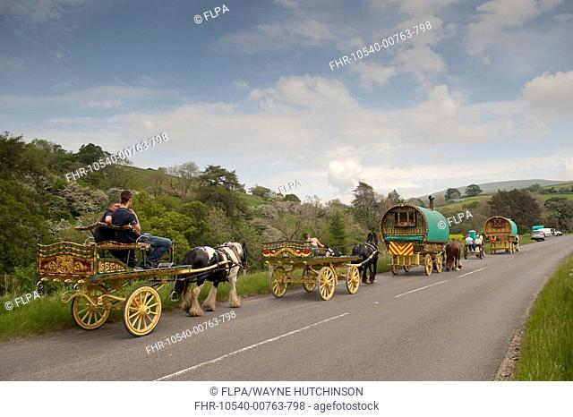 Horse, Irish Cob (Gypsy Pony), pulling traveller caravans, heading towards Appleby Horse Fair, along A683 between Sedbergh and Kirkby Stephen, Cumbria, England