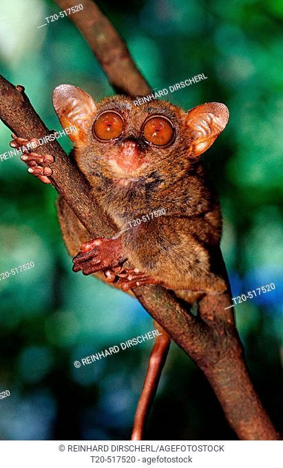 Philippine tarsier, Tarsius syrchta. Bohol, Philippines Island
