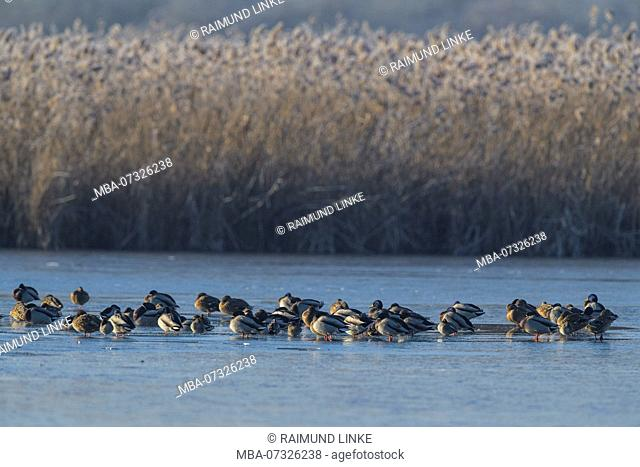 Frozen lake in winter with Mallard Ducks, Anas platyrhynchos, Reinheimer Teich, Reinheim, Hesse, Germany