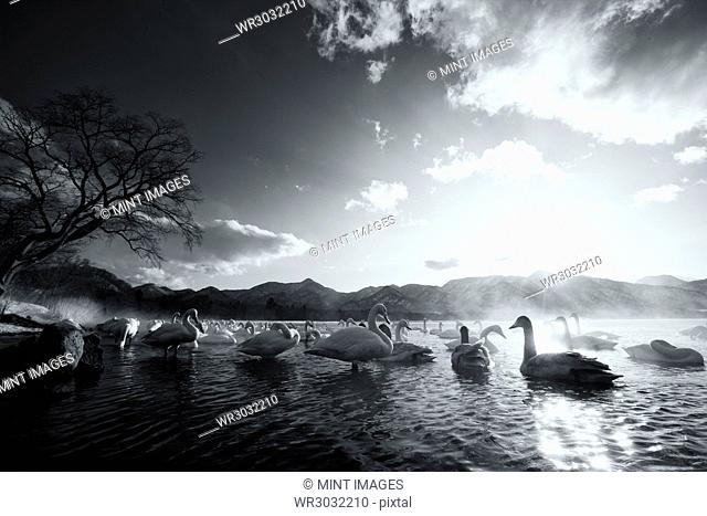 Flock of white Swans on a lake