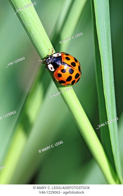 Harlequin Ladybird, Harmonia Axyridis var  succinea, Fourteen-spotted red ladybird  Sometimes it can be conused with aother ladybirds because the elytra color...