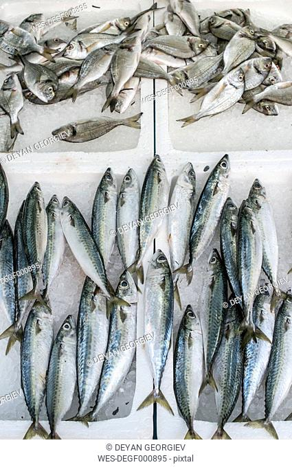 Raw Atlantic chub mackerels on ice in a fishing shop