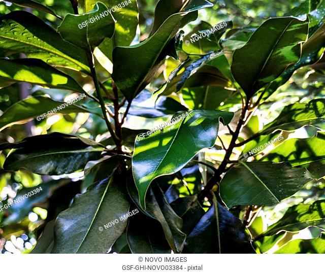 Evergreen Magnolia Trees