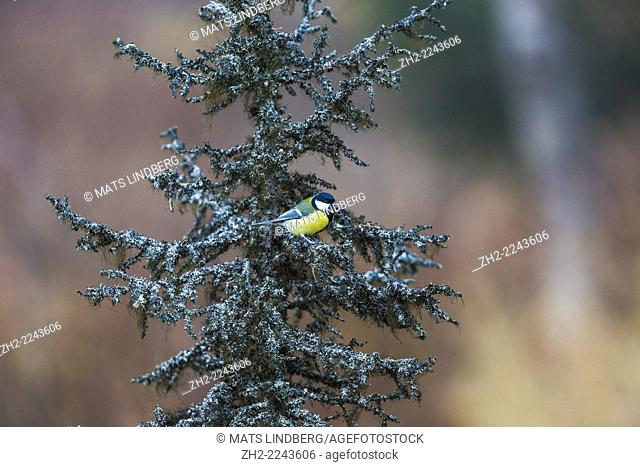 great tit, Parus major, sitting in a spruce with lichen