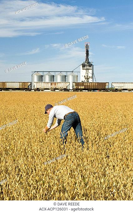 a man scouts a mature, harvest ready soybean field with an inland grain terminal in the background, near Rosser, Manitoba, Canada
