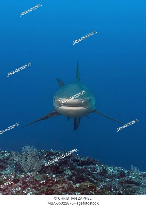 Galapagos Shark, Carcharhinus galapagensis, Cocos Iceland, Costa Rica