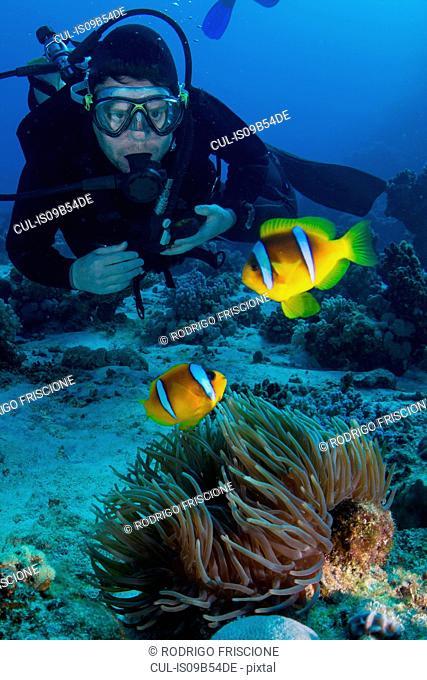 Scuba diver looking at Clownfish (amphiprion bicinctus), Marsa Alam, Egypt