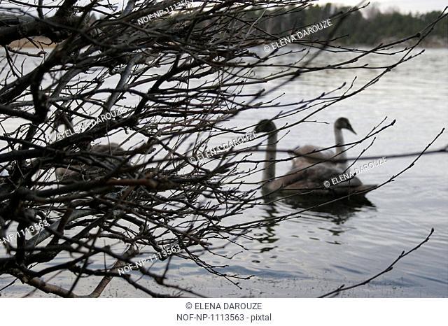 Swans in an archipelago, Sweden