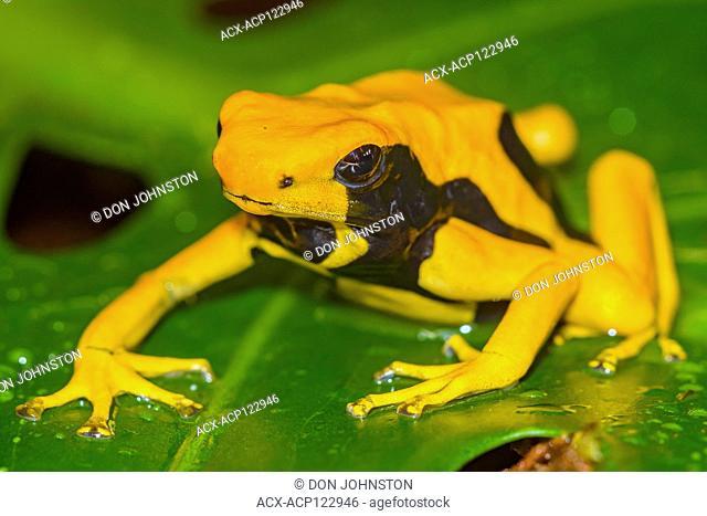 Dendrobates tinctorius 'mount matecko', , , Native to: