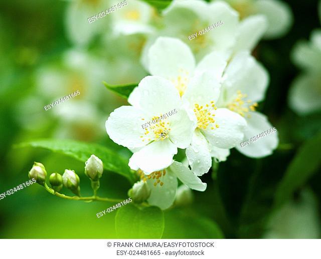 Closeup of Jasmine Flower at Blossom in Spring