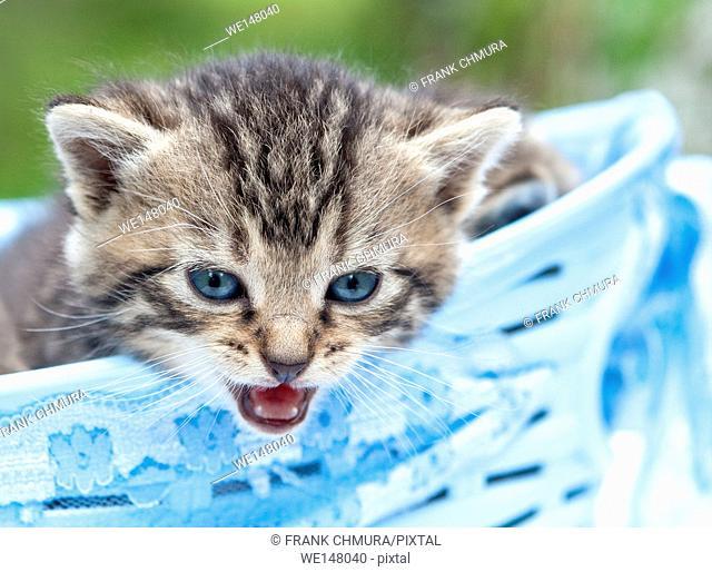 Kitten in a Blue Basket Outdoors
