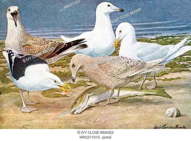 The birds of America pictured here are: top section, left to right—an adult ring-billed gull in summer, a young ring-billed gull, a young herring gull