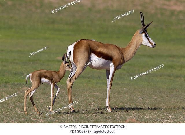 Springbok (Antidorcas marsupialis)- Mother and Lamb, Kgalagadi Transfrontier Park, Kalahari desert, South Africa/Botswana
