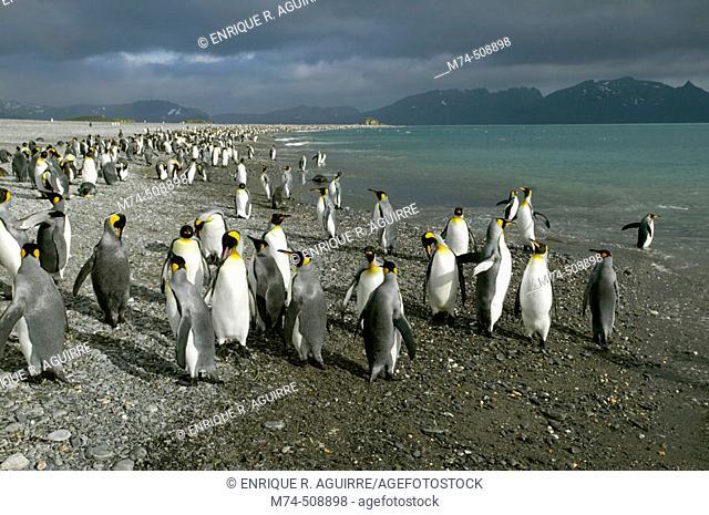 King Penguin (Aptenodytes patagonicus) and Antarctic Fur Seal (Arctocephalus gazella). Salisbury plain, South Georgia, UK