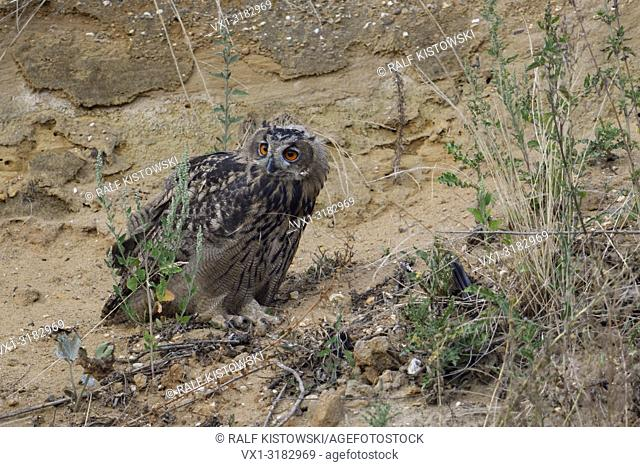 Eurasian Eagle Owl ( Bubo bubo ), young bird, perched in the slope of a gravel pit, watching back, wildlife, Europe