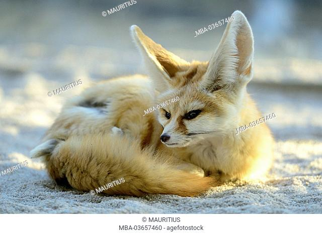 Wild fox, Vulpes zerda, Fennek, lying, sand