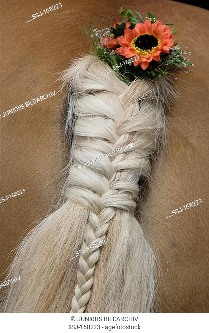Domestic Horse. Braided tail with flower boquet