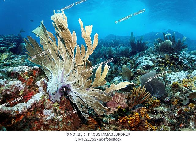 Coral reef in strong waves and currents, Venus sea fan (Gorgonia flabellum), Little Tobago, Speyside, Trinidad and Tobago, Lesser Antilles, Caribbean Sea