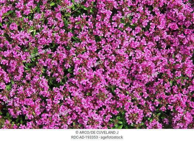 Wild Thyme, Thymus serpyllum
