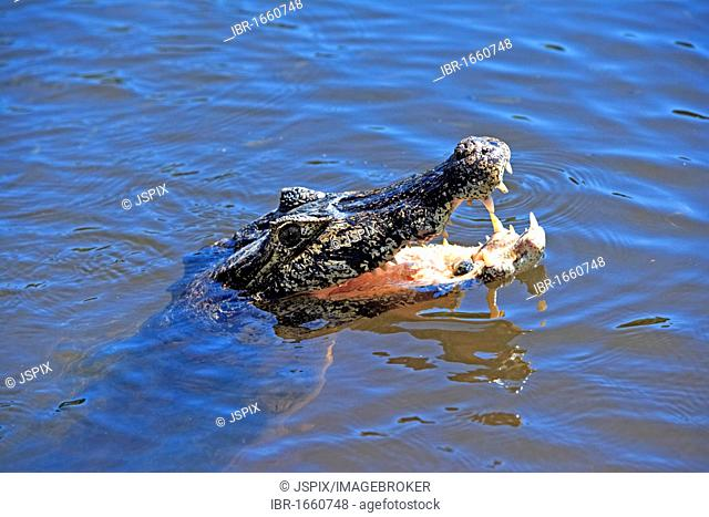 Yacare Caiman (Caiman yacare), adult floating in the water with its mouth open, Pantanal, Brazil, South America
