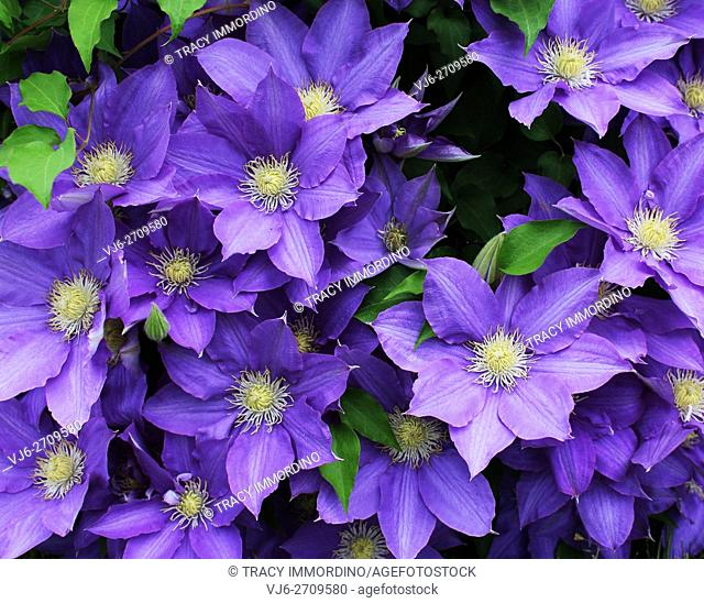 Cluster of beautiful, fully blooming, purple Clematis growing in Trevor, Wisconsin, USA