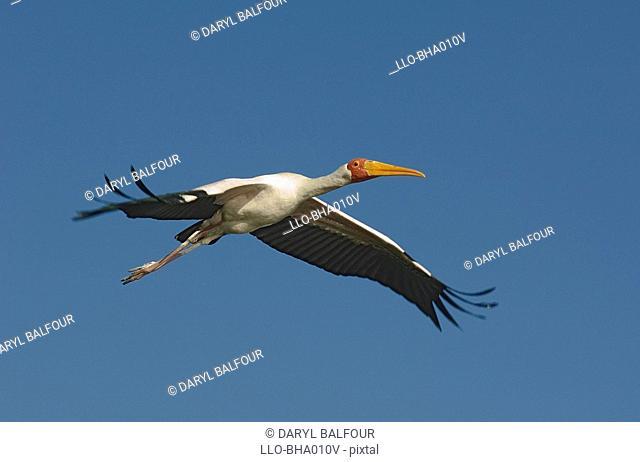 Yellow-billed Stork Mycteria ibis in Flight - Low Angle View  Okavango Delta, Botswana