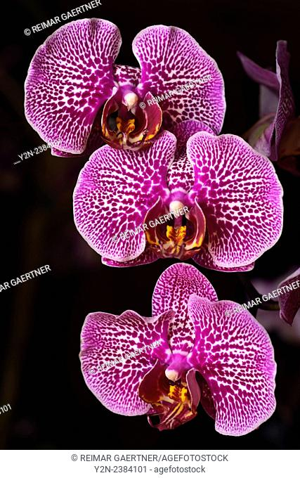 Pink spotted Phalaenopsis Leopard Prince Red Fission Moth orchid flower hybrid