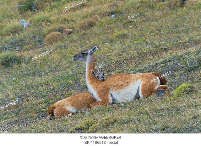 Young Guanaco (Lama guanicoe) lying on the ground with its head on the back of the female, Torres del Paine National Park, Chilean Patagonia, Chile