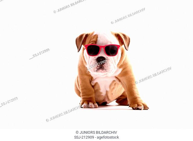 English Bulldog. Puppy (bitch, 9 weeks old) sitting, wearing sunglasses. Studio picture against a white background. Germany
