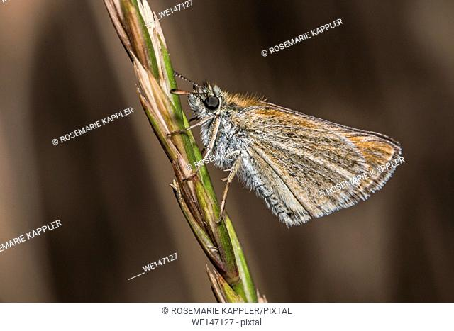 Germany, Saarland, Bexbach - A large skipper is sitting on a grass-stock