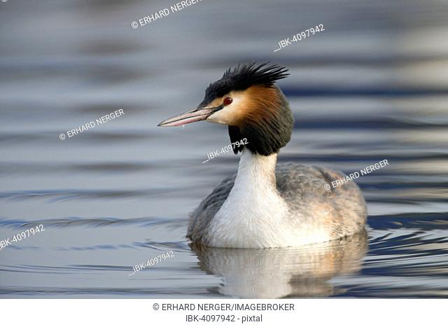 Great Crested Grebe (Podiceps cristatus), Emsland, Lower Saxony, Germany