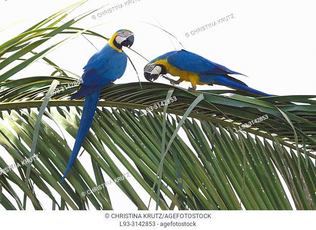 Blue and yellow macaw (Ara ararauna) in palm tree, pair, Brazil