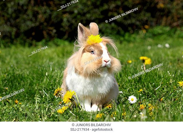Lionhead Rabbit. Adult sitting on a flowering meadow, with a Dandelion flower on its head. Germany